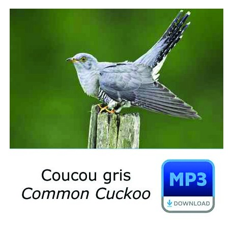 MP3 Coucou gris - Cuculus canorus - Common Cuckoo