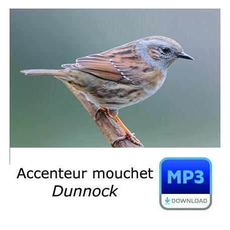 Accenteur mouchet - Prunella modularis - Dunnock