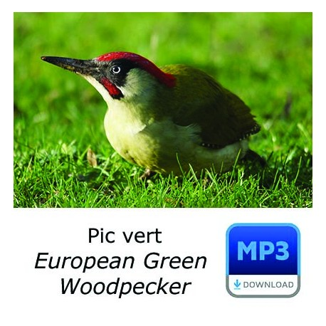 Pic vert - European Green Woodpecker