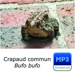MP3 Crapaud commun - Common Toad - Bufo bufo