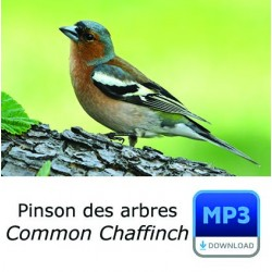 MP3 Common Chaffinch - Fringilla coelebs