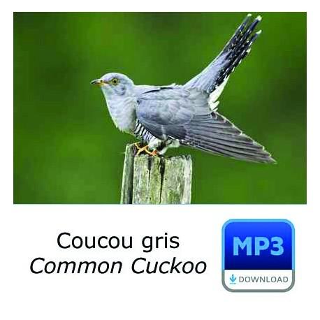 MP3 Coucou gris - Cuculus canorus - Common Cuckoo