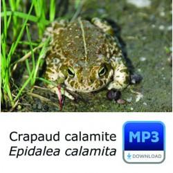 Crapaud calamite - Bufo calamita