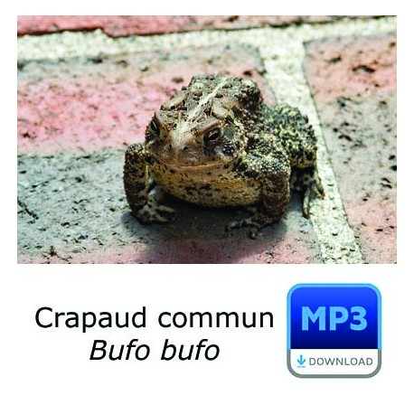 Crapaud commun - Common Toad - Bufo bufo